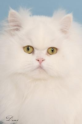 Not a white cat breed but a white traditional Persian cat, Cristalline - Photo: Dani