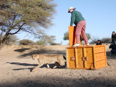 Cheetah being released on Namibian farmlands.