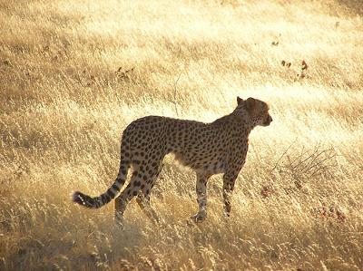 Cheetah - a better hunter than most wild cat species