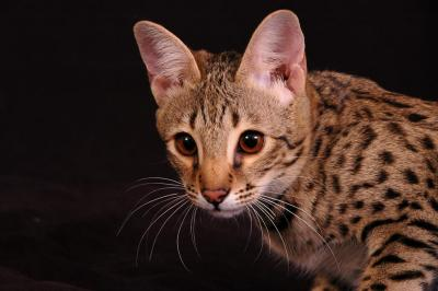 Savannah Cat,