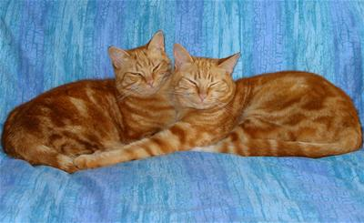 Yellow (Orange) Tabby Cats - Photo by Mrs eNil