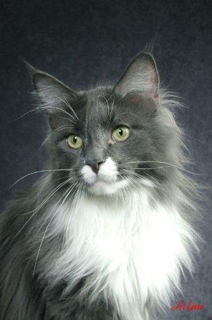 Black Smoke Maine Coon Cat | PoC